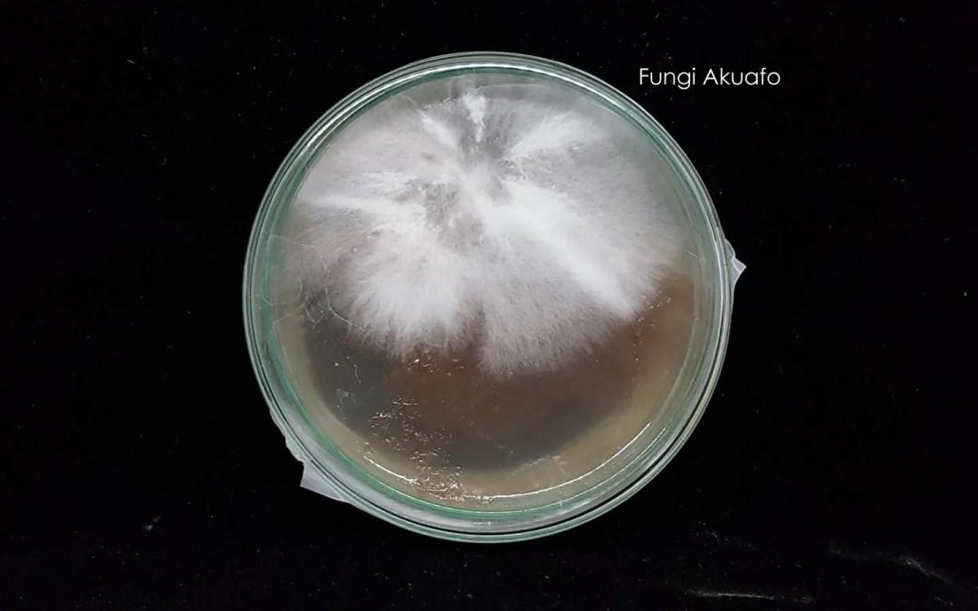 Petri from spores