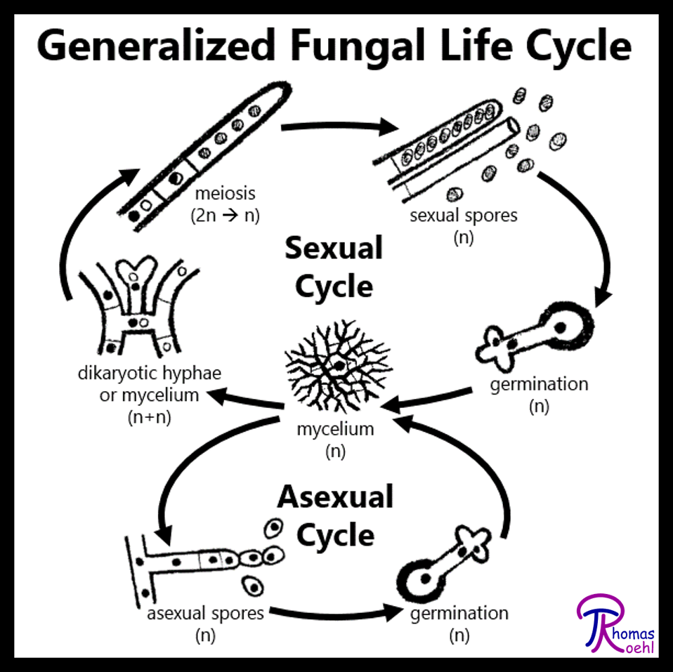 009  Overview of the Fungal Life Cycle     Fungus Fact Friday