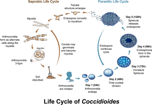 Coccidioides life cycle