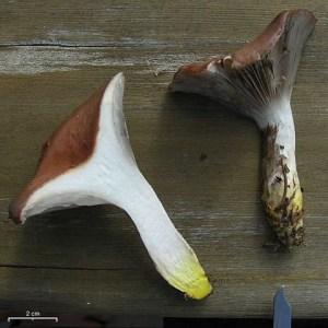 Gomphidius oregonensis sliced in half