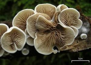 Crepidotus sp. underside