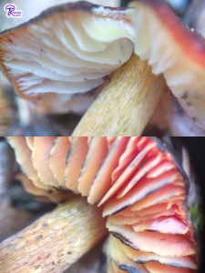 Hygrocybe conica gills