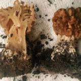 Gyromitra caroliniana sectioned