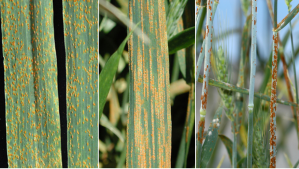 #208: Rust Diseases of Wheat