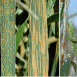 Wheat Leaf Rust, Wheat Stripe Rust, and Wheat Stem Rust