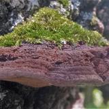 Phellinus robiniae