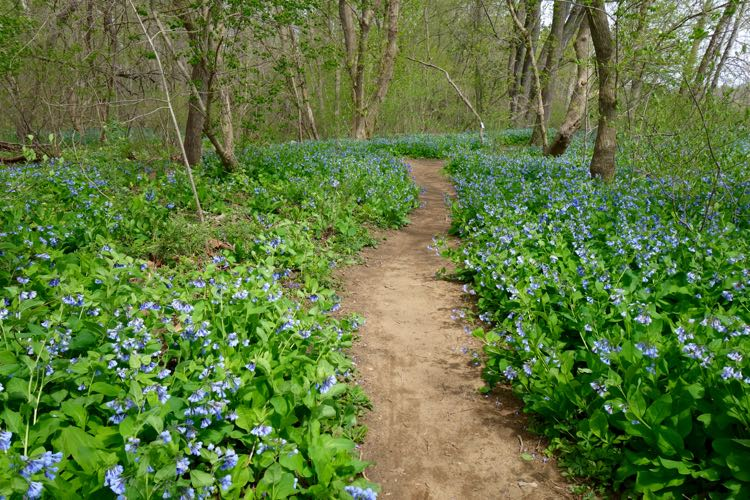 Bluebells at Riverbend Park Virginia Apr 11 2016