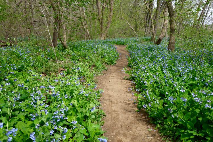 Bluebells at Riverbend Park Virginia Apr 11 2016