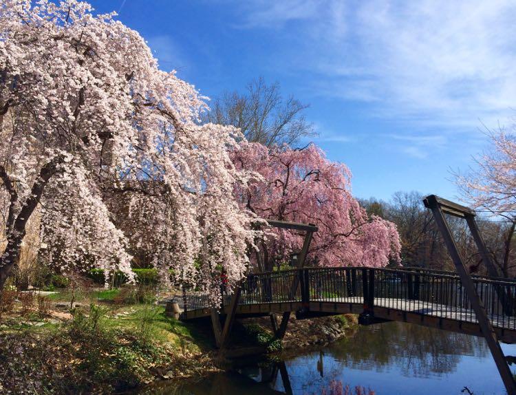 Cherry trees Van Gogh Bridge Reston Virginia