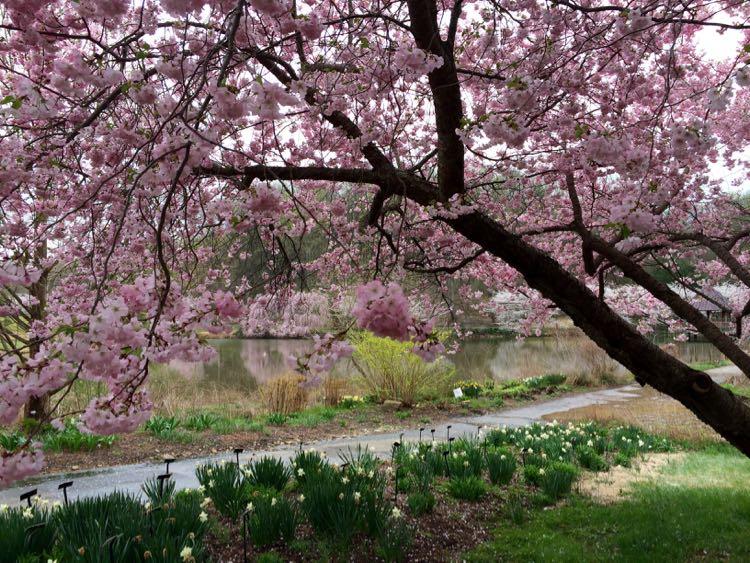 Meadowlark Botanical Garden cherry blossoms Vienna Virginia