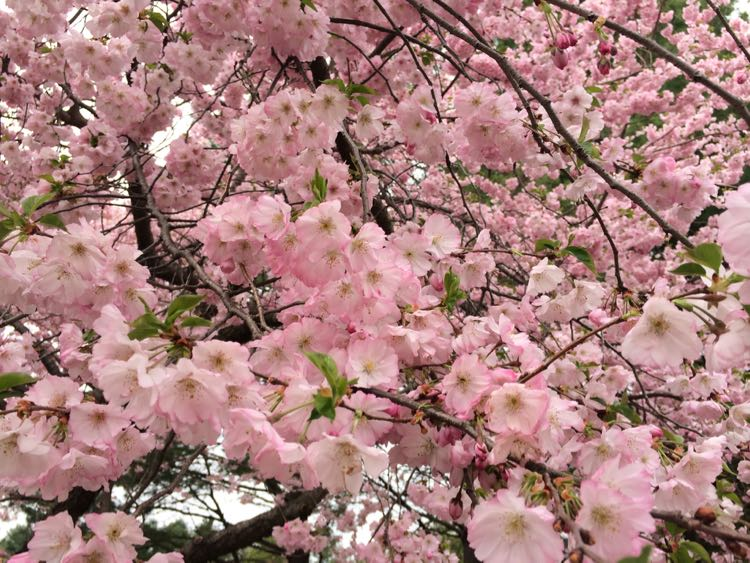 Meadowlark pink cherry blossoms Vienna Virginia