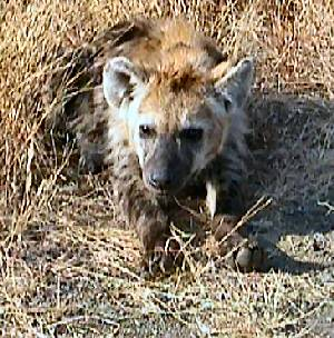 hyenafacts.jpg