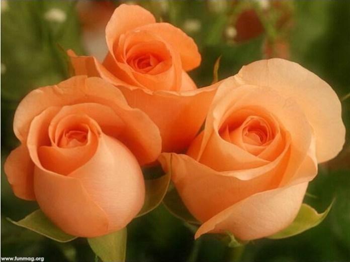 beautiful-roses-01