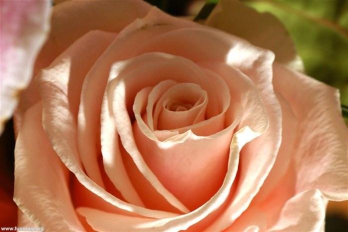 beautiful-roses-07