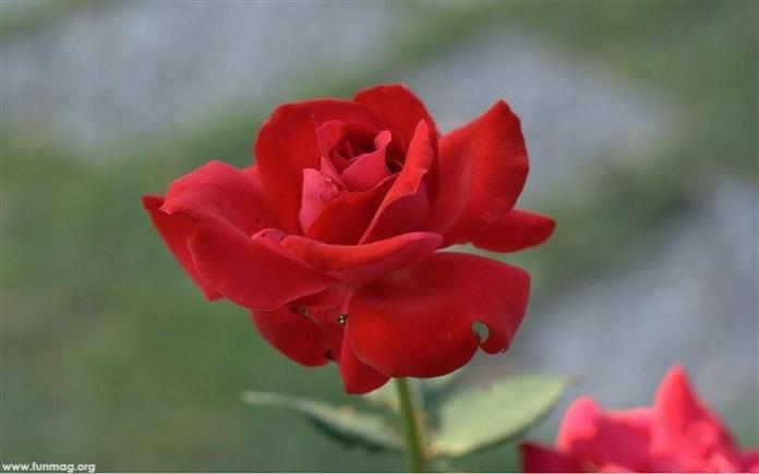beautiful-roses-12