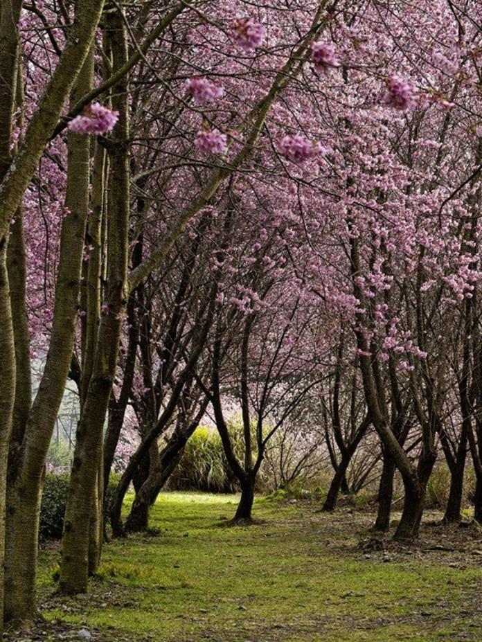 japanese-cherry-blossom- (3)