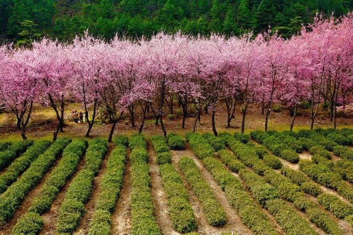 japanese-cherry-blossom- (6)