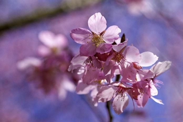 japanese-cherry-blossom- (7)