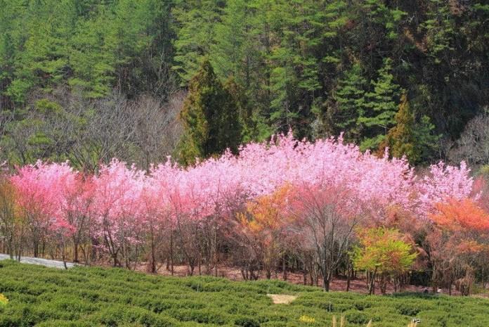 japanese-cherry-blossom- (8)