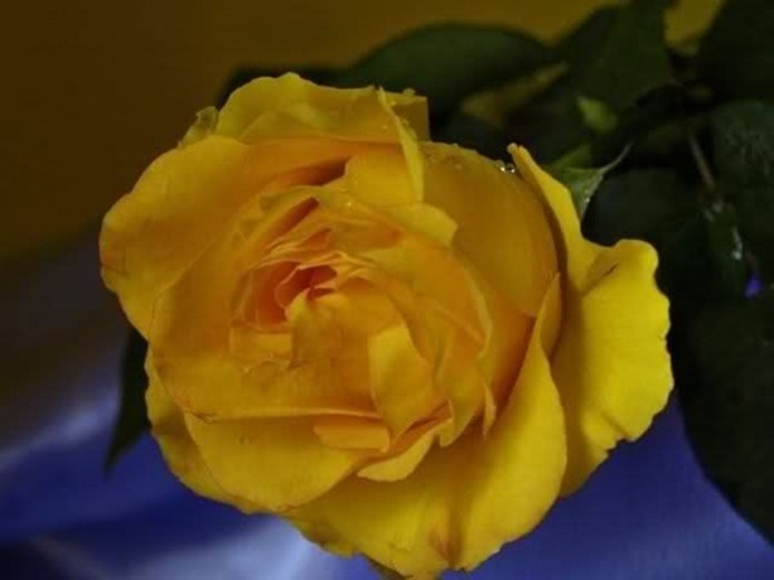 picture-of-yellow-roses- (4)