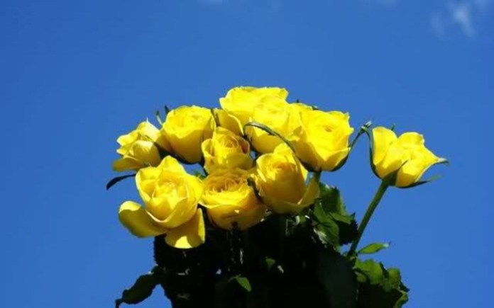 picture-of-yellow-roses- (9)