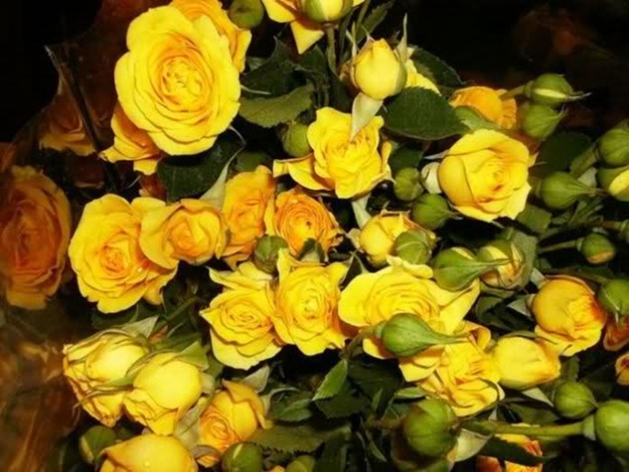 picture-of-yellow-roses- (15)