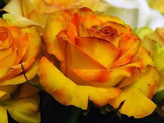 picture-of-yellow-roses- (18)
