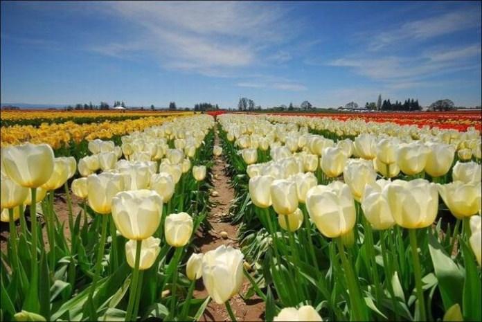tulips-field- (1)