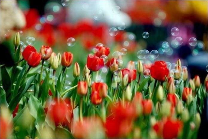 tulips-field- (6)