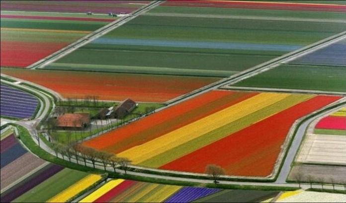tulips-field- (7)