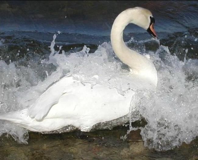 beautiful-white-swan- (2)
