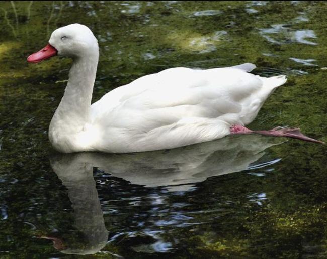 beautiful-white-swan- (5)