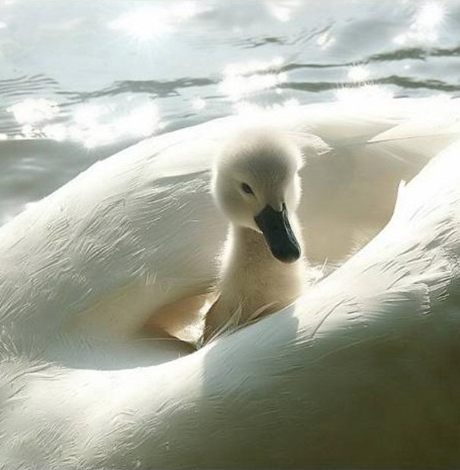 pictures-of-swan- (12)