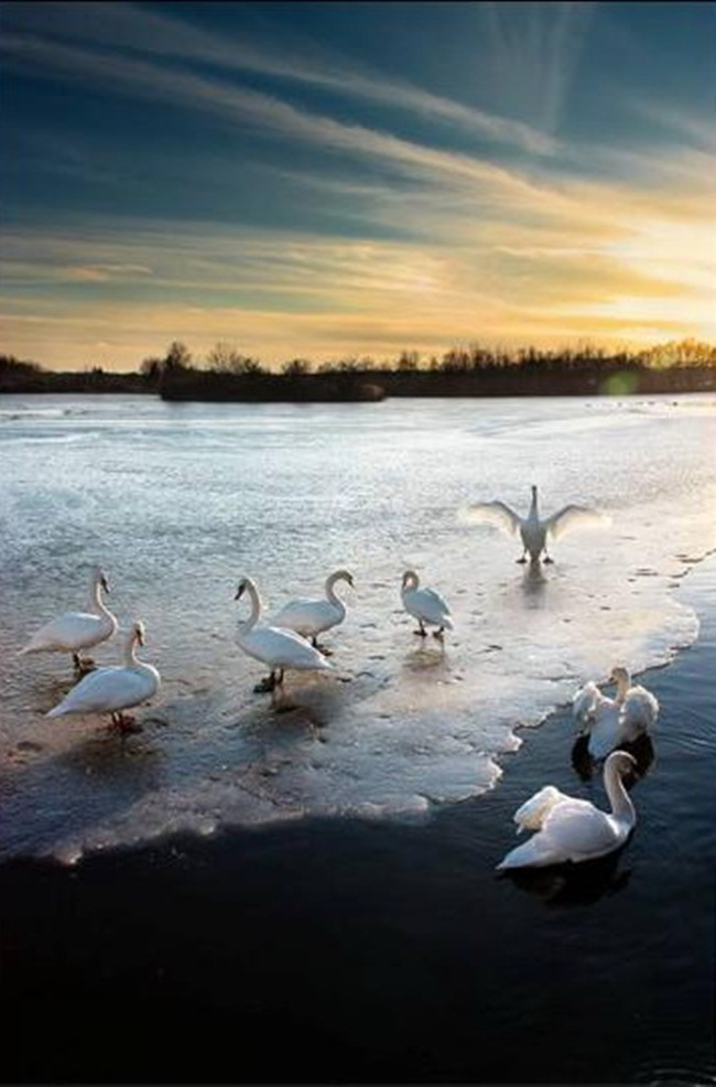 pictures-of-swan- (16)