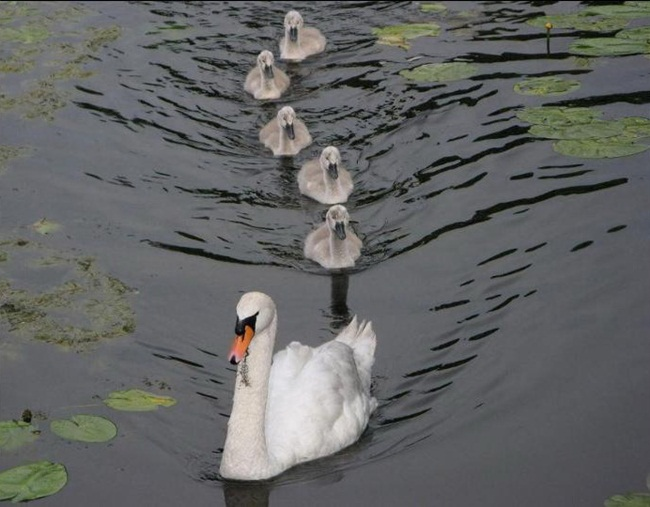 pictures-of-swan- (17)