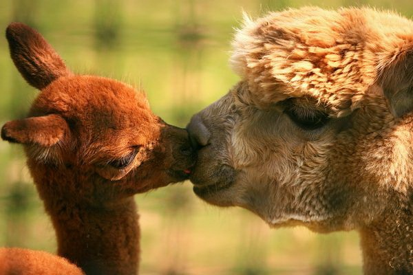 animals-kissing-pictures- (5)