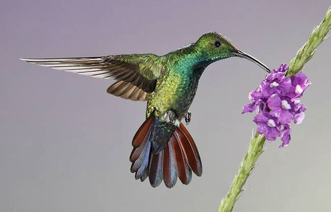 colorful-hummingbirds- (8)