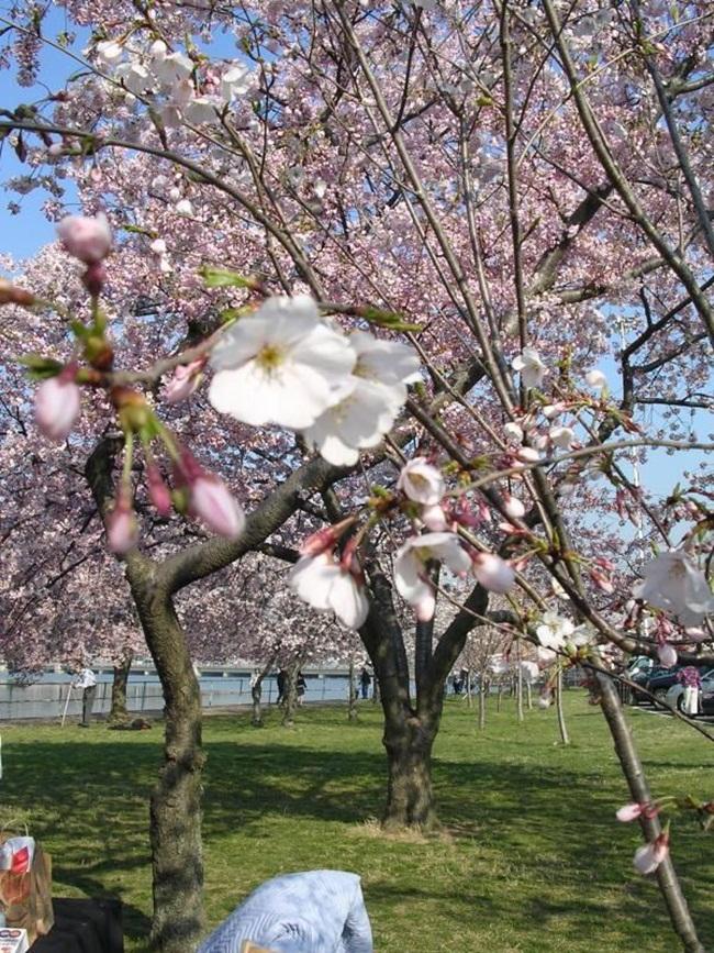 photos-of-cherry-blossom-festival-in-washington- (6)