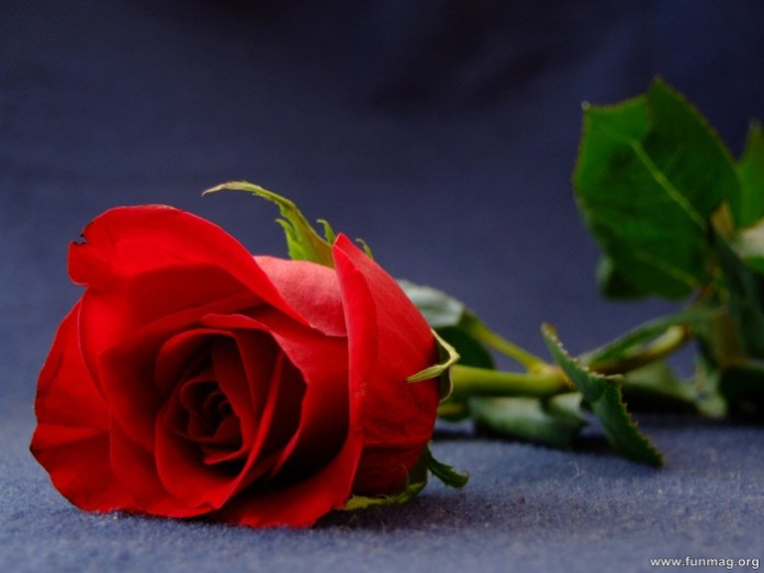 romantic-red-roses-pictures- (4)