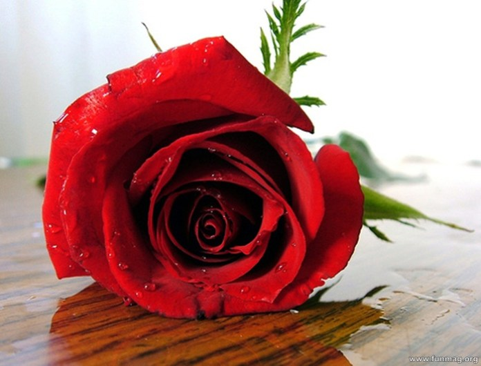 romantic-red-roses-pictures- (14)