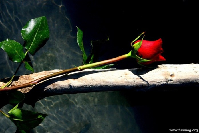 romantic-red-roses-pictures- (17)