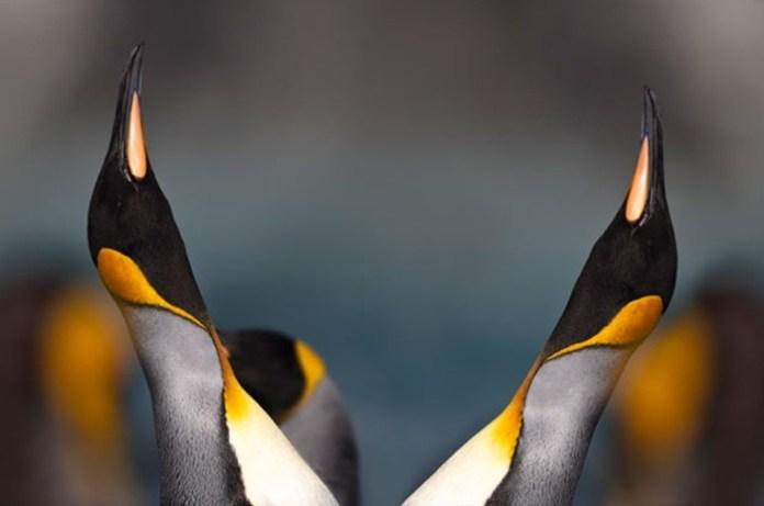cute-penguin-photos- (10)