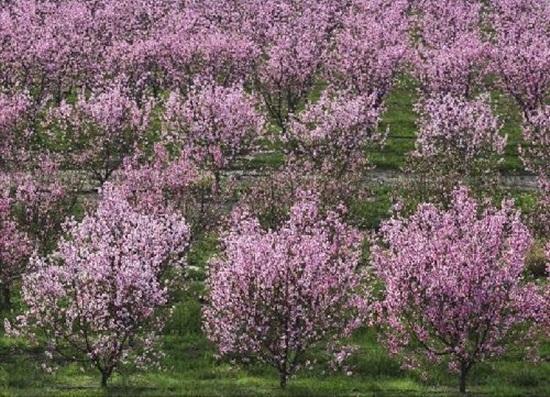 blooming-trees- (2)