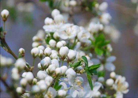 blooming-trees- (10)