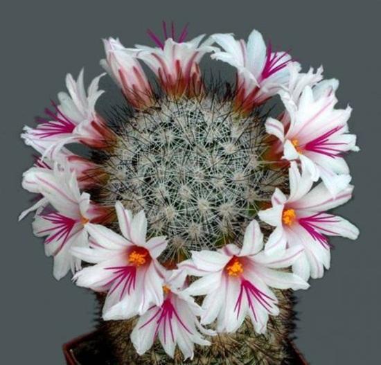 cactus-flowers- (2)