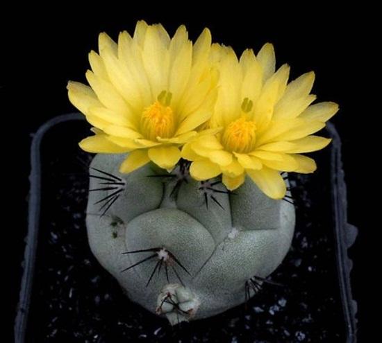 cactus-flowers- (4)