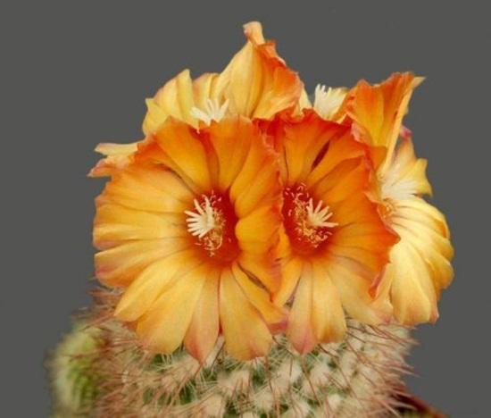 cactus-flowers- (5)
