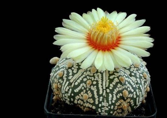 cactus-flowers- (11)