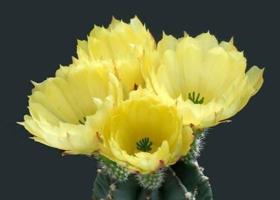 cactus-flowers- (27)