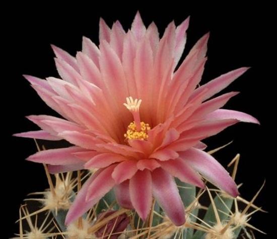 cactus-flowers- (29)
